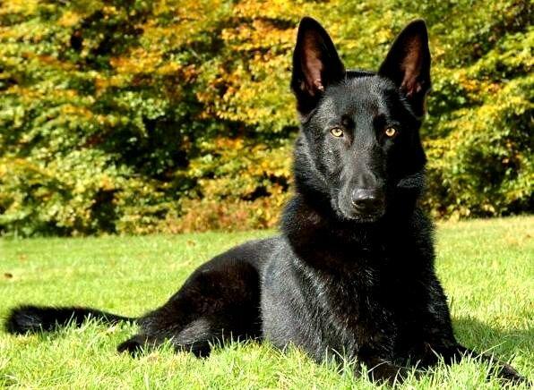 All Black German Shepherd Price Photo - Happy Dog Heaven