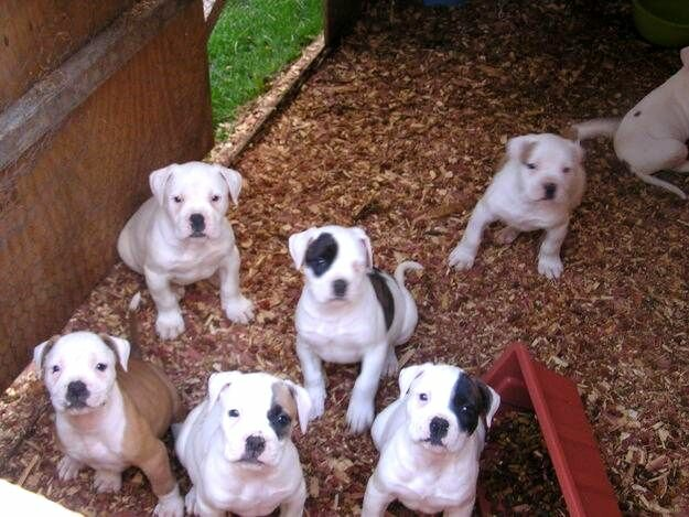 American Bulldog Puppies Black And White Photo Happy Dog Heaven