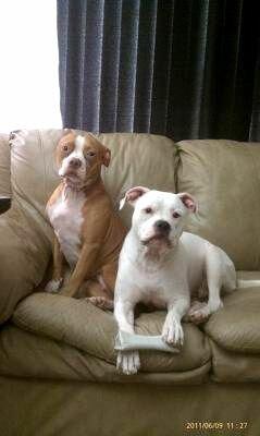 American Bulldog Red Nose Pitbull Mix Photo - Happy Dog Heaven