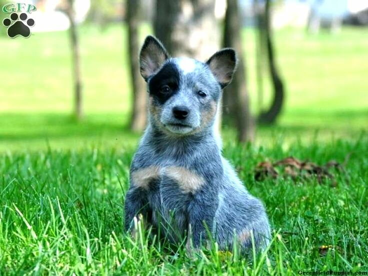 Australian Cattle Dog Puppies Blue Heeler Pin By Pam Welling Aulizia On Hannah Pinterest