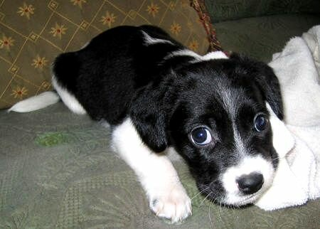 Beagle Collie Mix Phot...