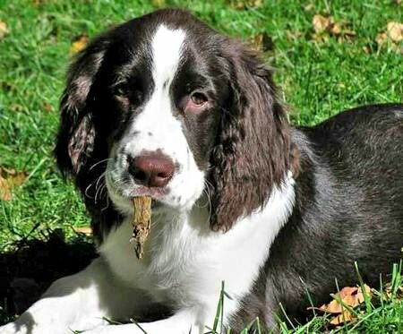 Beagle English Springer Spaniel Mix Milou The English Springer Spaniel ...