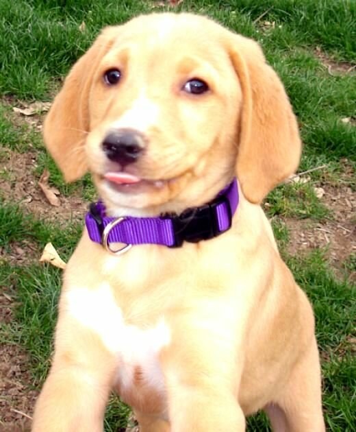 yellow lab mix puppies - photo #9