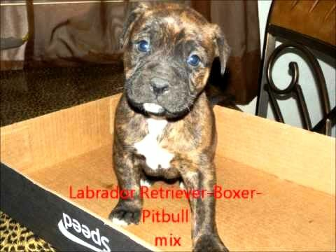 Black Boxer Pit Mix Puppy Photo Happy Dog Heaven