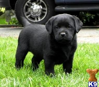 Best Dog Food For Labs >> Black English Labrador Retriever Puppies Photo - Happy Dog Heaven