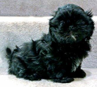 Black Shih Tzu Puppies Photo Happy Dog Heaven