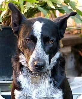 Border Collie Cattle Dog Mix Folsom On Sacramento County