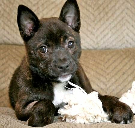 Boston Terrier Pomeranian Mix Photo Happy Dog Heaven