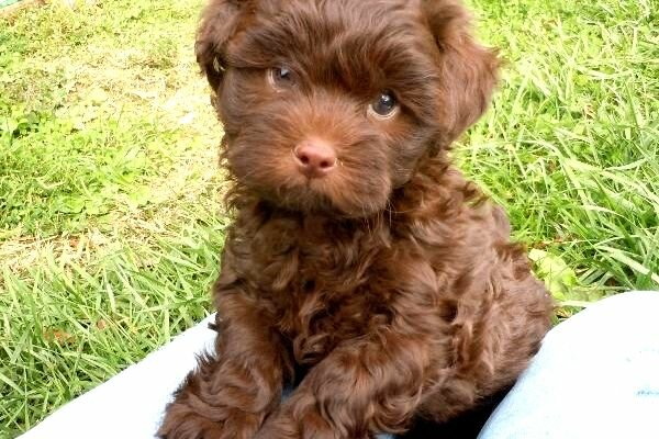Brown Toy Poodle Puppies For Sale | Homestead Poodles