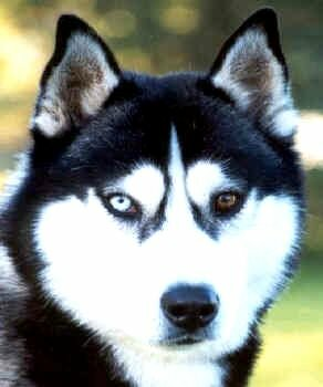 Brown Siberian Husky Blue Eyes Photo Happy Dog Heaven