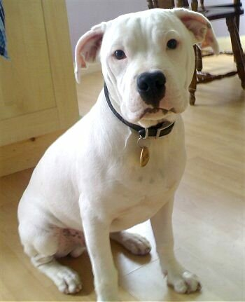 English Bull Terrier Cross Poodle Mixed Breed Dog Pictures With Bios 1