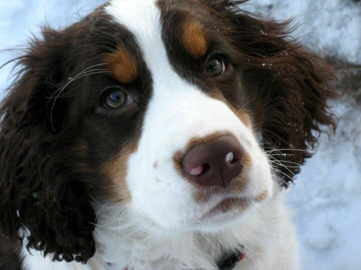 English Springer Spaniel Tricolor Oregon English Springer Spaniel Bend Oregon Springer Puppies