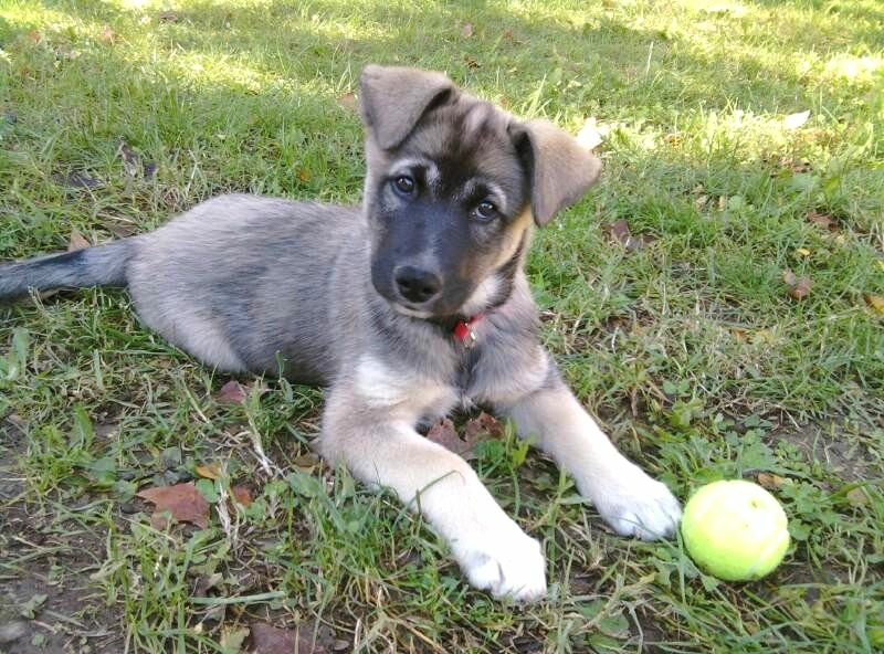 Saint Bernard Dog Breed Information  Vetstreet