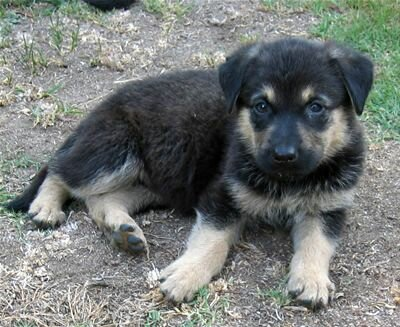 Find out what's involved in raising a german shepherd labrador mix