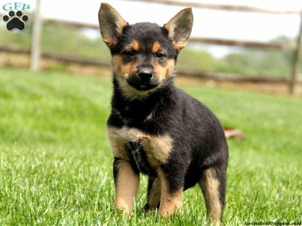 German Shepherd Rottweiler Mix Size Photo Happy Dog Heaven