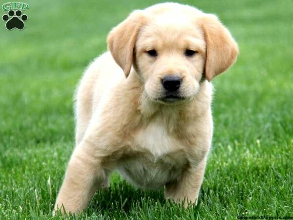 Golden Retriever And Lab Mix Puppies Photo Happy Dog Heaven