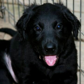 Golden Retriever Black Lab Mix Puppies Beautiful Labrador Golden Retriever Mix Puppies Golden