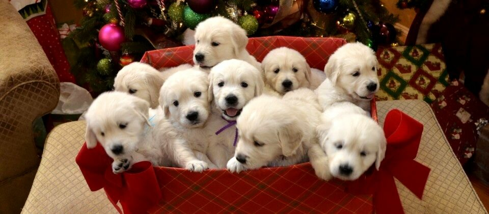 Golden Retriever Puppy Christmas Present White Golden Retriever Puppies Christmas Gift 12 Golden Retriever