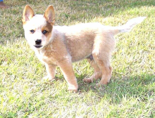 Red Australian Cattle Dog Puppy Photo - Happy Dog Heaven