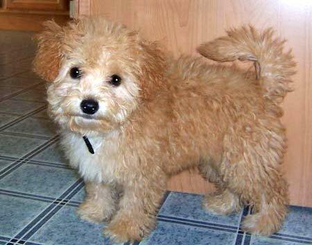 Shih Tzu Poodle Mix Full Grown Photo Happy Dog Heaven
