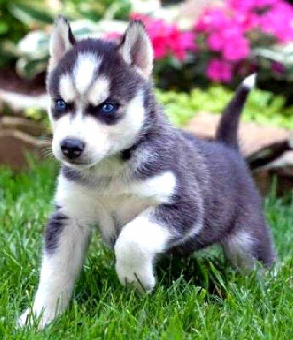 Siberian Husky Dogs With Blue Eyes Photo Happy Dog Heaven