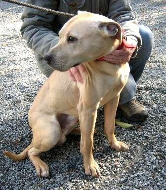 Staffordshire Bull Terrier Lab Mix Old Male Labrador Cross Staffordshire Bull Terrier Dog For