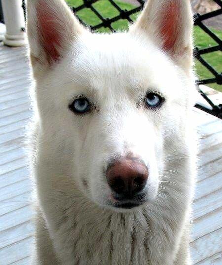 White German Shepherd Husky Mix Puppies For Sale German Shepherd Husky On Pinterest German Husky Border Collies
