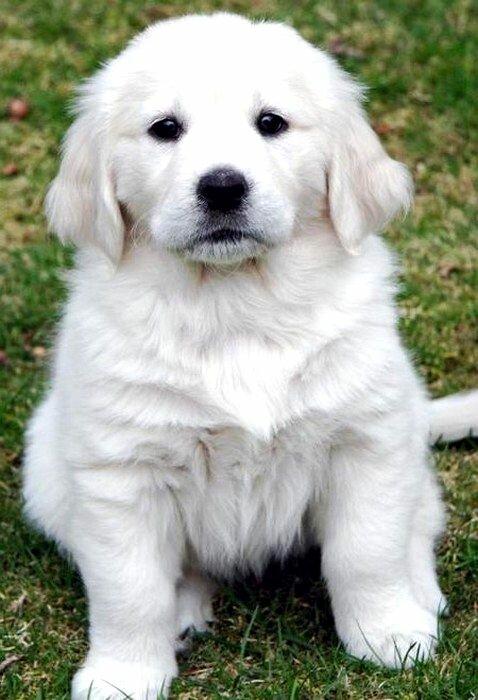 German Shepherd Golden Retriever Mix Puppies For Sale In Michigan