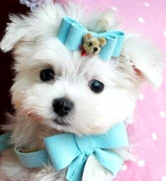 White Teacup Yorkshire Terrier Puppies For Sale In Los Angeles California