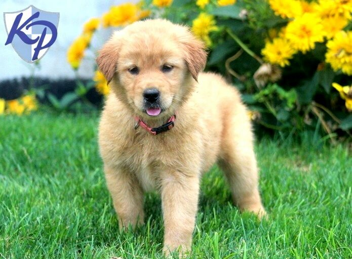 Yellow Lab Golden Mixed Puppies Photo Happy Dog Heaven